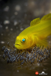 YELLOW GOBY WITH EGGS by Raffaele Livornese