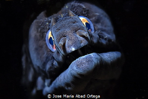 Muraena augusti moray eel found north of the eastern Cent... by Jose Maria Abad Ortega