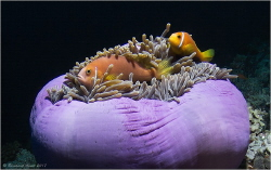 Maldive anemonefish (Amphiprion nigripes), Bathala Thila,... by Reinhard Arndt