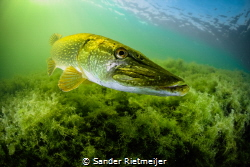I met this beautiful pike in shallow waters. by Sander Rietmeijer