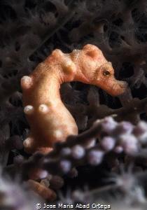 Pigmy sea horse Hippocampus denise by Jose Maria Abad Ortega