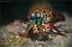 Mantis shrimp (Odontodactylus scyllarus), Gangga Island, ... by Reinhard Arndt