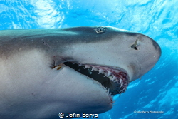 This is Ms. Snooty the Lemon Shark. Her jaw is permanentl... by John Borys