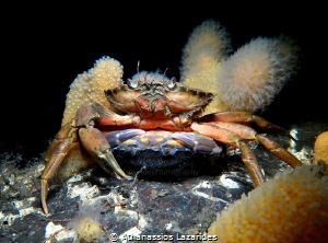 Mating crabs - Romantic dance, the male carries the femal... by Athanassios Lazarides