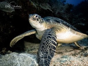 I came across this lovely turtle chilling on the reef dur... by Patricia Sinclair