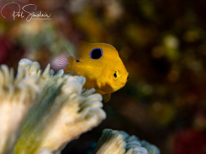 Juvenile Damselfish trying to hide among the corals by Patricia Sinclair