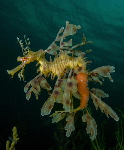Leafy Seadragon (Phycodurus eques) by Charles Wright