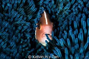 Nemo portrait by Kelvin H.y Tan