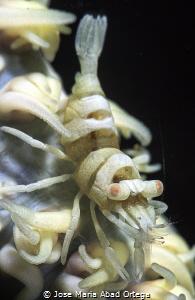 Pontonides unciger on whip coral by Jose Maria Abad Ortega