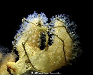 Long-legged spider crab - Macropodia rostrata by Athanassios Lazarides