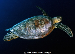 Turtle in Moalboal by Jose Maria Abad Ortega