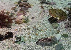 Plaice. Pascal's Bay, Omey Island, Connemara. D200, 20mm. by Mark Thomas