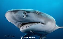 Lemon shark coming in to inspect me. Shot in Jupiter, FL ... by John Borys