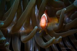 Amphiprion frenatus (juvenile) by Julian Hsu