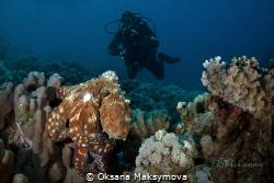 Octopus  cyanea by Oksana Maksymova