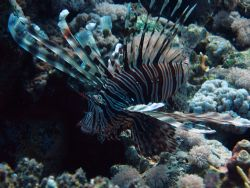 feathered lion fish, taken with a canon power shot s80 se... by Dean Whiting