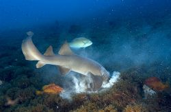 Nurse Shark Hunting When nurse sharks hunt on sandy bott... by João Paulo Krajewski