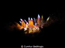 Cratena peregrina Candles with SNOOT by Cumhur Gedikoglu