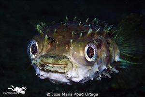 Cyclichthys orbicularis Rounded Porcupinefish. by Jose Maria Abad Ortega