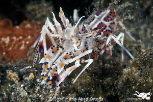Tiger shrimp (Phyllognathia ceratophthalma) by Jose Maria Abad Ortega