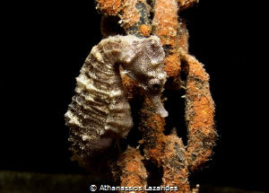 Sea-horse attached to a chain - Hippocampus fuscus by Athanassios Lazarides