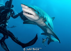 Lemon shark Jupiter, FL by John Borys