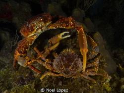 two crab encounter, panasonic lumix GH4, panasonic lens 1... by Noel Lopez