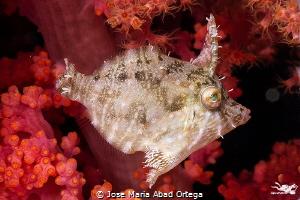 Radial leatherjacket (Acreichthys radiatus) by Jose Maria Abad Ortega