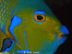 queen angelfish, panasonic GH4, panasonic lens 12-35mm, n... by Noel Lopez