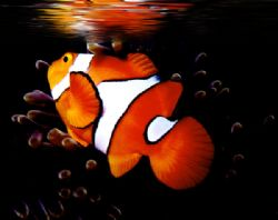 'REFLECTIONS OF NEMO' Clown anemonefish, Ingles Shoal, Wa... by Rick Tegeler
