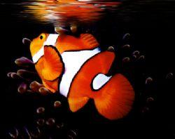 'REFLECTIONS OF NEMO' Clown anemonefish, Ingles Shoal, Wa... by Rick Tegeler