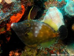 Trigger of this filefish. by Zaid Fadul