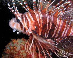 Lionfish taken with an Olympus Camedia with built in flas... by Anna Wright