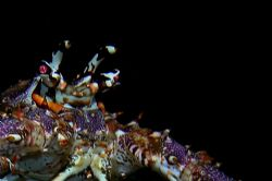 Lobster on night dive, Grand Cayman. Sea and Sea DX5000. by David Heidemann