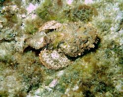A well camouflaged spotted scorpionfish. by Peter Foulds