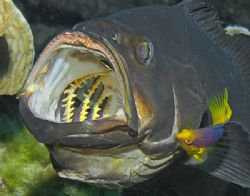 This Black Grouper had pulled into a cleaning station, an... by Jim Chambers