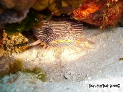 This' the specie of Toadfish endemic from the island of C... by Carlos Valenzuela