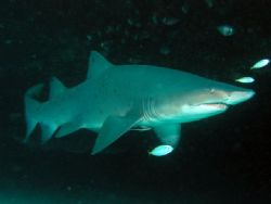 Grey Nurse Shark Magic Point by Peter Simpson