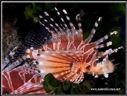 Lionfish in Perhentian island, Malaysia. by Erika Antoniazzo