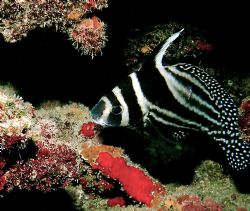 Spotted Drum. The red coralline algae contrasts his its b... by Peter Foulds