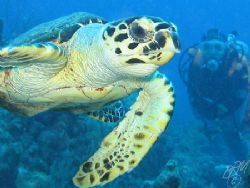 Small friendly Turtle ignores buddy without camera and po... by Brian Mayes