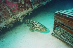 Grouper swimming out from under Spiegel Grove Wreck off K... by Michael Sacito