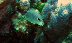 Butterfly fish seen at East end of Grand Cayman on August... by Bonnie Conley