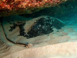 I have submitted my big ray photo in remberence of Steve ... by Natasha Tate