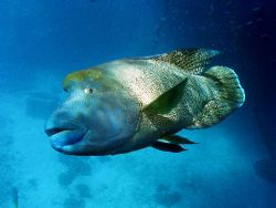 Napolean Wrasse, GBR Aust.He is called Phang,One of the l... by Joshua Miles
