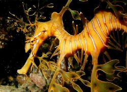 Leafy Seadragon, Rapid Bay S.A by Peter Simpson
