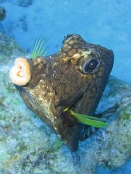 A curious Smooth Trunkfish. Canon A70 with internal flash . by Brian Mayes