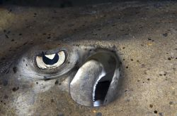 Stingray eye. Canon 300D, Sea&Sea Housing, YS90  by João Paulo Krajewski