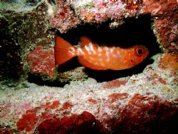 Glass eyed Snapper in his lair. by Peter Foulds