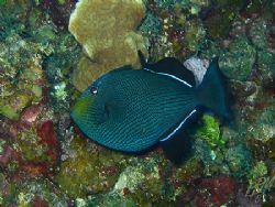 Black Durgon from Grand cayman with nice diamond patterns... by Brian Mayes